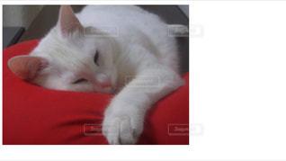 赤いクッション上で眠っている猫。の写真・画像素材[1513467]