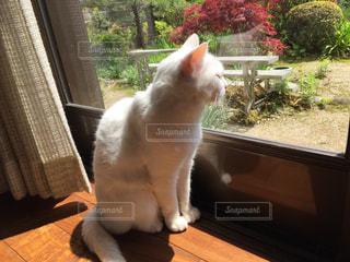 窓の前に座っている猫の写真・画像素材[1516490]
