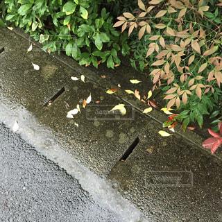 雨で垣根の葉が少し落ちました。の写真・画像素材[1517738]