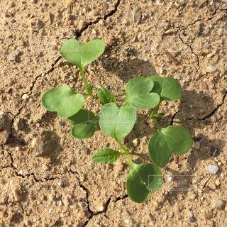 畑の大根の芽。の写真・画像素材[1517980]