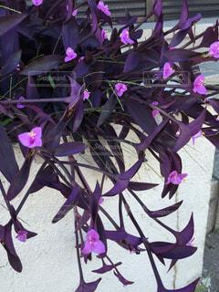 葉や茎はムラサキで、花はピンクです。の写真・画像素材[1520042]