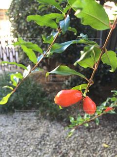 裏庭のザクロのつぼみ。の写真・画像素材[1522458]