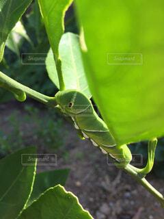 ミカンの木に大きくなったアゲハの青虫。の写真・画像素材[1522476]