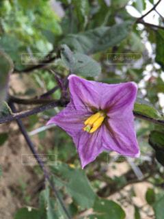 ナスの花。の写真・画像素材[1525551]