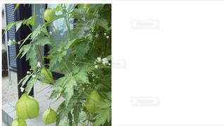 フウセンカズラの実。の写真・画像素材[1527389]