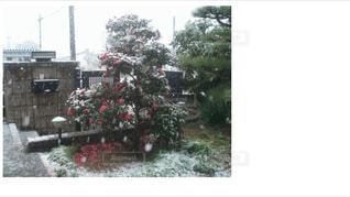庭のサザンカに雪。の写真・画像素材[1531565]