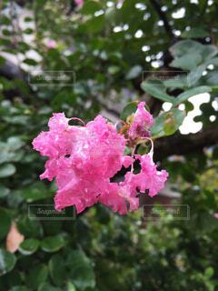 サルスベリの花。の写真・画像素材[1532641]
