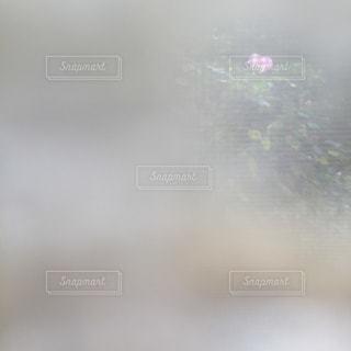 記憶の芙蓉。の写真・画像素材[1551634]