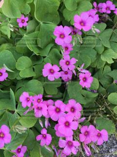 小花のカタバミがかわいい。の写真・画像素材[1553155]