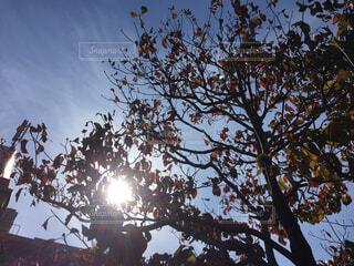 ハナミズキと秋の空。の写真・画像素材[1564291]