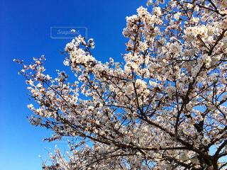 蒼穹の桜花の写真・画像素材[1513033]