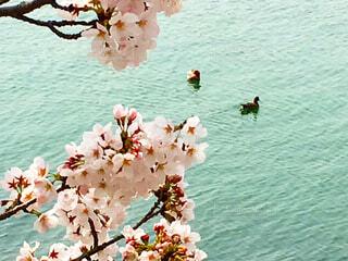 桜を愛でる鴨のつがいの写真・画像素材[1513035]