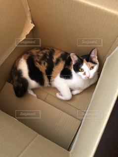 ダンボール入り猫の写真・画像素材[1513757]