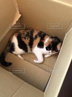 猫ダンボールの写真・画像素材[1513758]