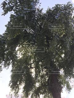 フォレスト内のツリーの写真・画像素材[1555724]
