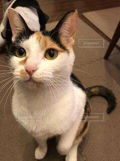 カメラを見ている猫の写真・画像素材[1585654]