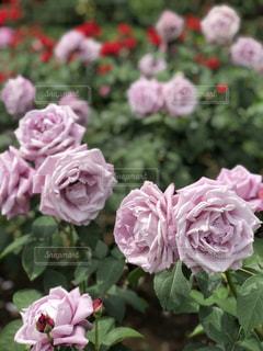 ラベンダーカラーの薔薇の写真・画像素材[1513313]