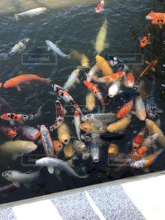 鯉の群れの写真・画像素材[1515333]