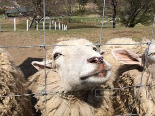 金網越しの羊の写真・画像素材[1515787]