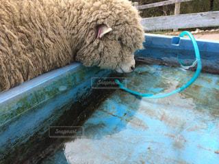 水を飲む羊の写真・画像素材[1515800]