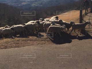 羊の群れの写真・画像素材[1515977]