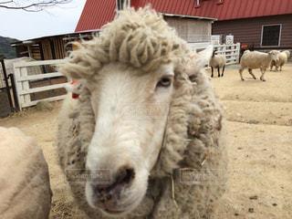 囲いの中の羊のグループの写真・画像素材[1518386]