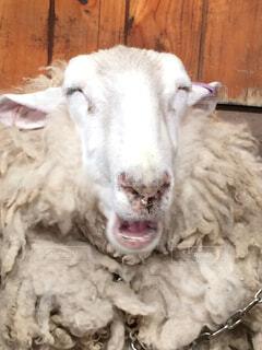 笑う羊の写真・画像素材[1518390]