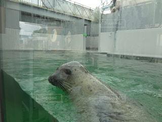 水のプールで泳ぐアザラシの写真・画像素材[1519742]