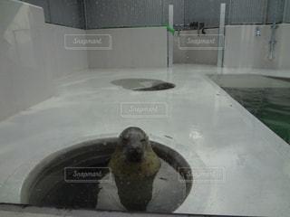 穴から顔を出すゴマフアザラシの写真・画像素材[1521310]