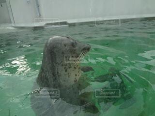 水面から顔を出すゴマフアザラシの写真・画像素材[1521311]