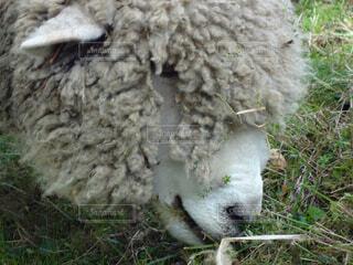 牧草を食べるヒツジの写真・画像素材[1521337]