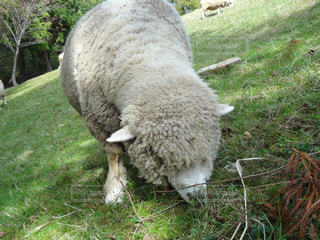 牧草を食べるヒツジの写真・画像素材[1521354]