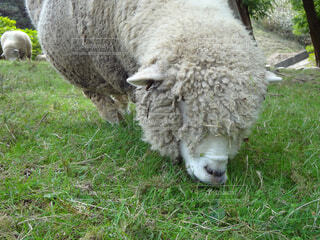 牧草を食べるヒツジの写真・画像素材[1521357]