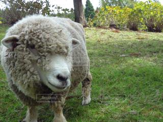 牧場の羊の写真・画像素材[1521360]