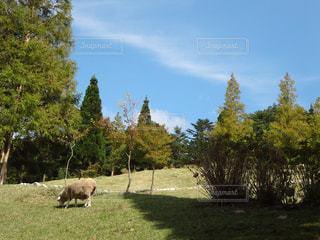 牧草の中に立つヒツジの写真・画像素材[1521441]