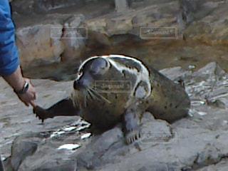 飼育員と握手するゴマフアザラシの写真・画像素材[1525901]