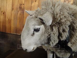 羊のアップの写真・画像素材[1532435]