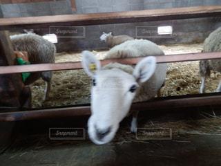 柵から顔を出す羊の写真・画像素材[1532439]