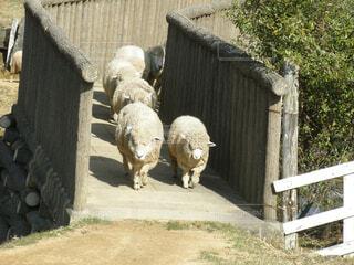羊の群れの写真・画像素材[1532589]