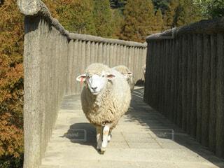 橋を渡る羊の写真・画像素材[1532594]