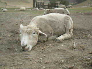 だらけた羊の写真・画像素材[1532596]