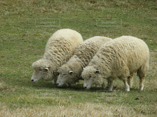草を食べる羊の群れの写真・画像素材[1532657]