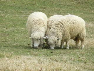 3匹の羊の写真・画像素材[1532658]