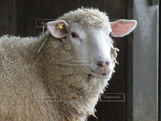 何かを見つめる羊の写真・画像素材[1532659]