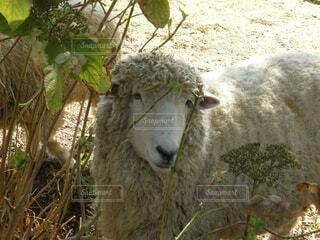 羊の写真・画像素材[1532698]