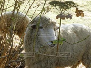 ワイヤー フェンスの横に立ってを羊のグループの写真・画像素材[1532699]