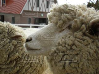 羊のアップの写真・画像素材[1532700]