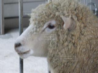 羊の写真・画像素材[1532702]