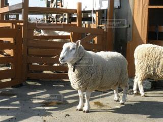 互いの上に羊の立っているグループの写真・画像素材[1532707]