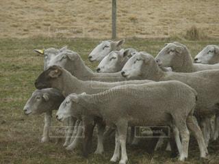 羊の群れの写真・画像素材[1532711]